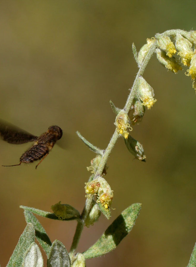 Artemisia douglasiana - Mugwort (Seed)