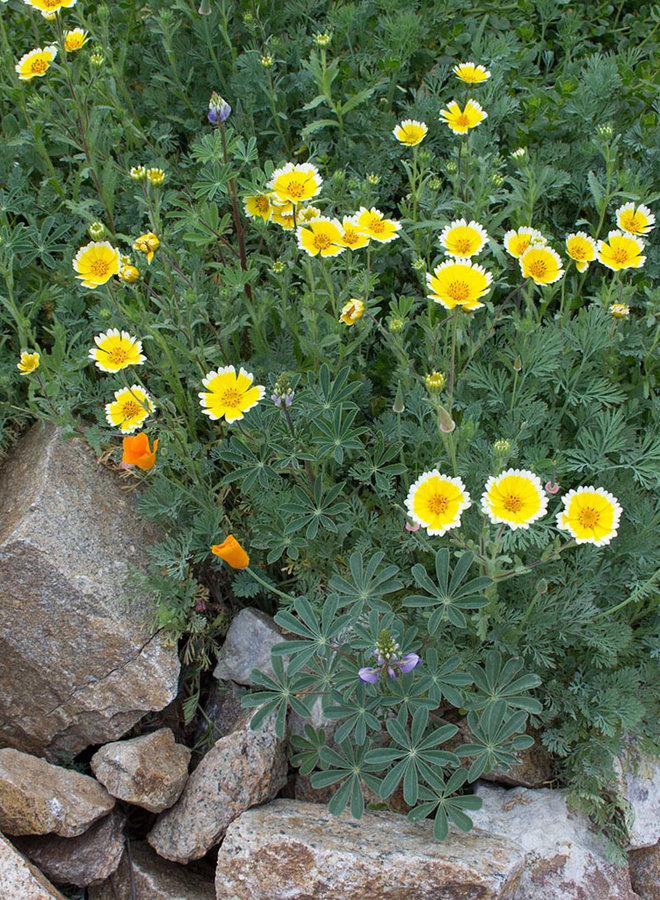 Layia platyglossa - Tidy Tips (Seed)