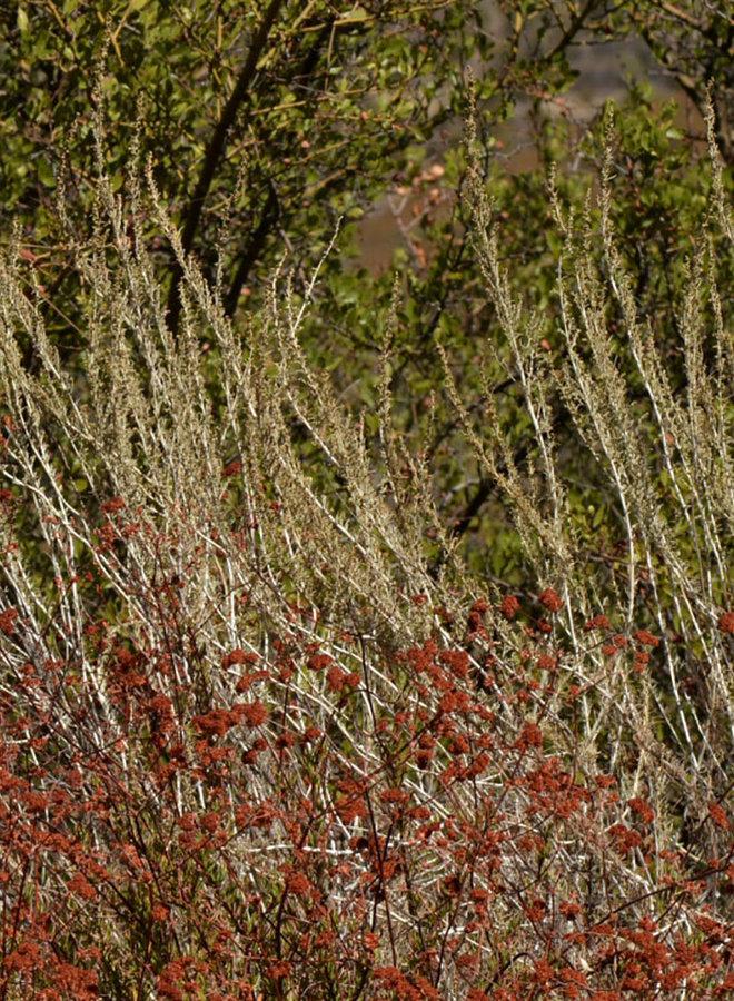 Artemisia californica - California Sagebrush (Plant)
