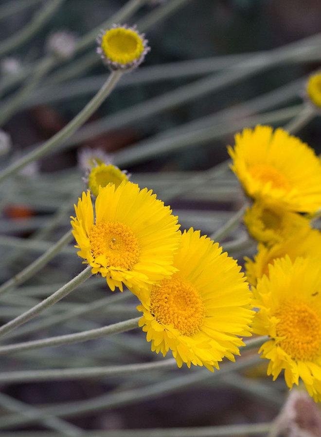 Baileya multiradiata - Desert Marigold (Plant)