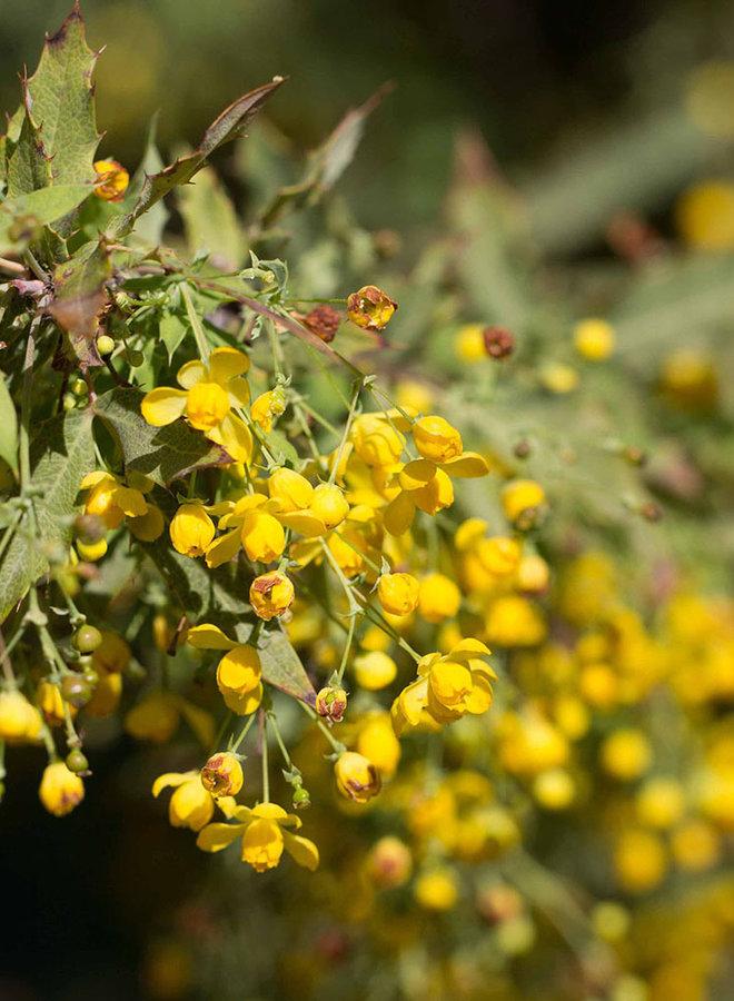 Berberis nevinii - Nevin's Barberry (Plant)