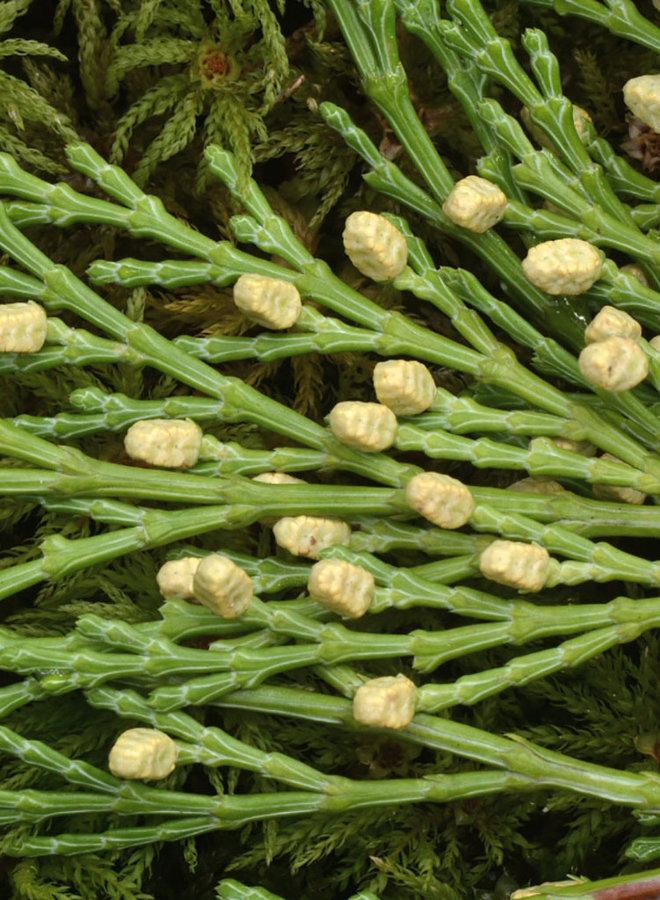 Calocedrus decurrens - Incense Cedar (Plant)