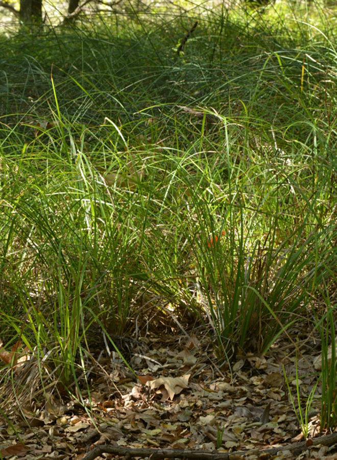 Carex barbarae - Santa Barbara Sedge (Plant)