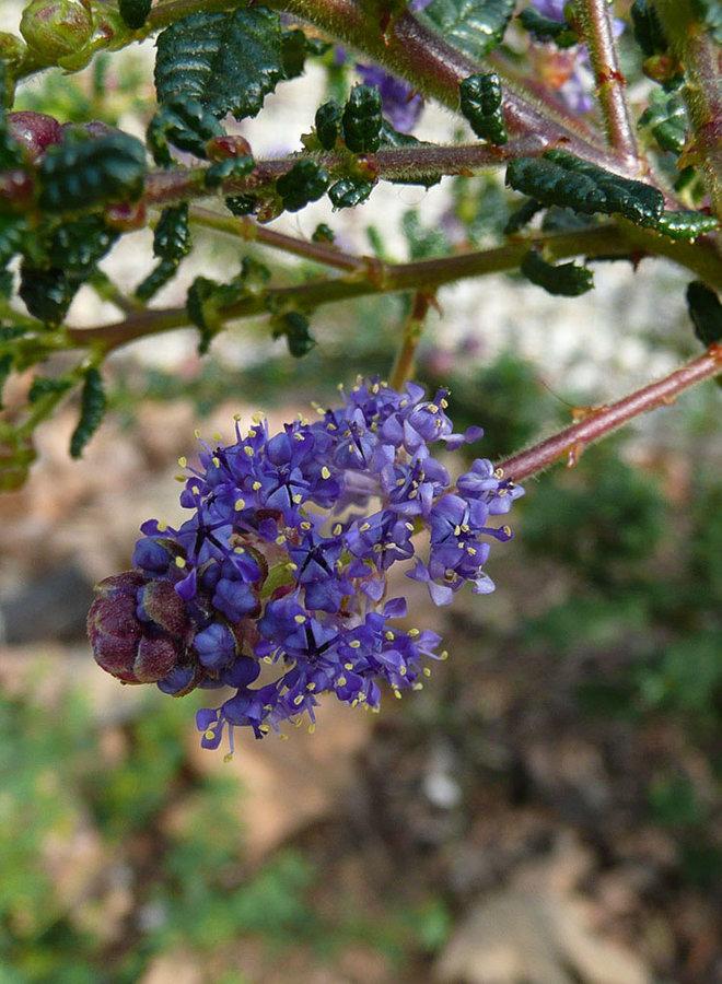 Ceanothus 'Dark Star' - Dark Star Ceanothus (Plant)