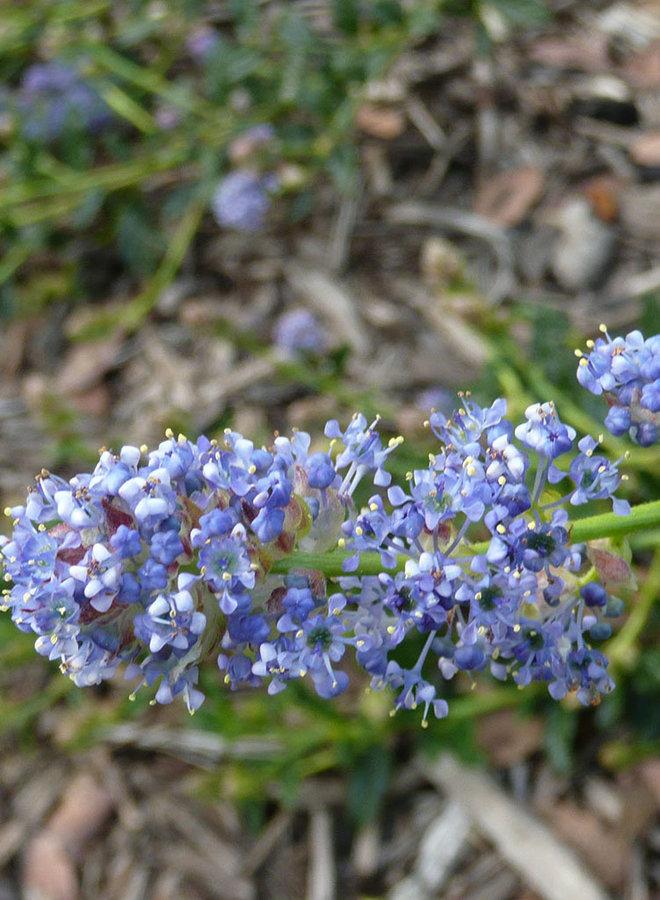 Ceanothus 'Joyce Coulter' - Joyce Coulter Ceanothus (Plant)