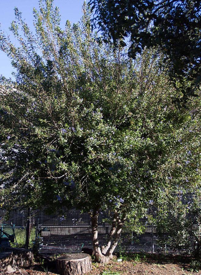 Ceanothus 'Ray Hartman' - Ray Hartman Ceanothus (Plant)
