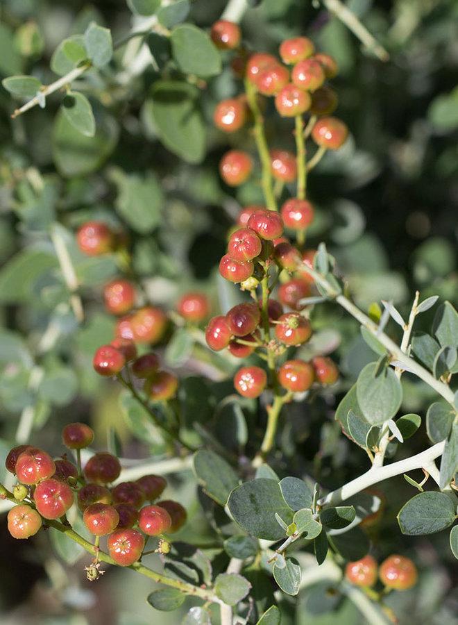 Ceanothus leucodermis - Chaparral Whitethorn (Plant)