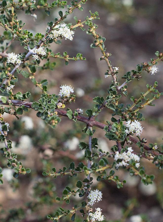Ceanothus rigidus 'Snowball' - Snowball Monterey Ceanothus (Plant)
