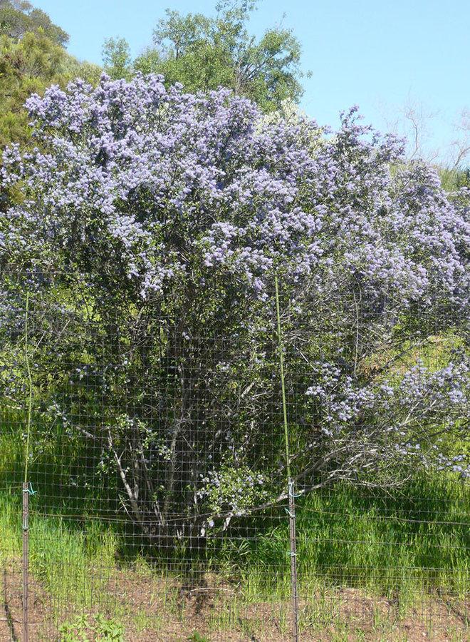 Ceanothus tomentosus - Woollyleaf Ceanothus (Plant)