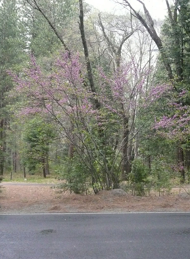 Cercis occidentalis - Western Redbud (Plant)