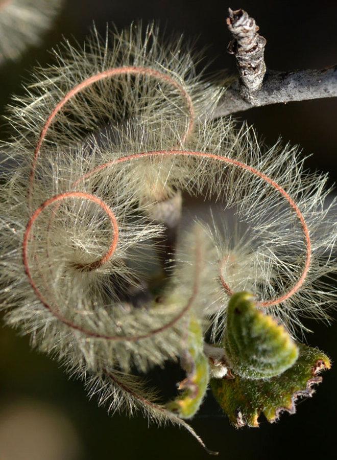 Cercocarpus betuloides var. betuloides - Birch Leaf Mountain Mahogany (Plant)