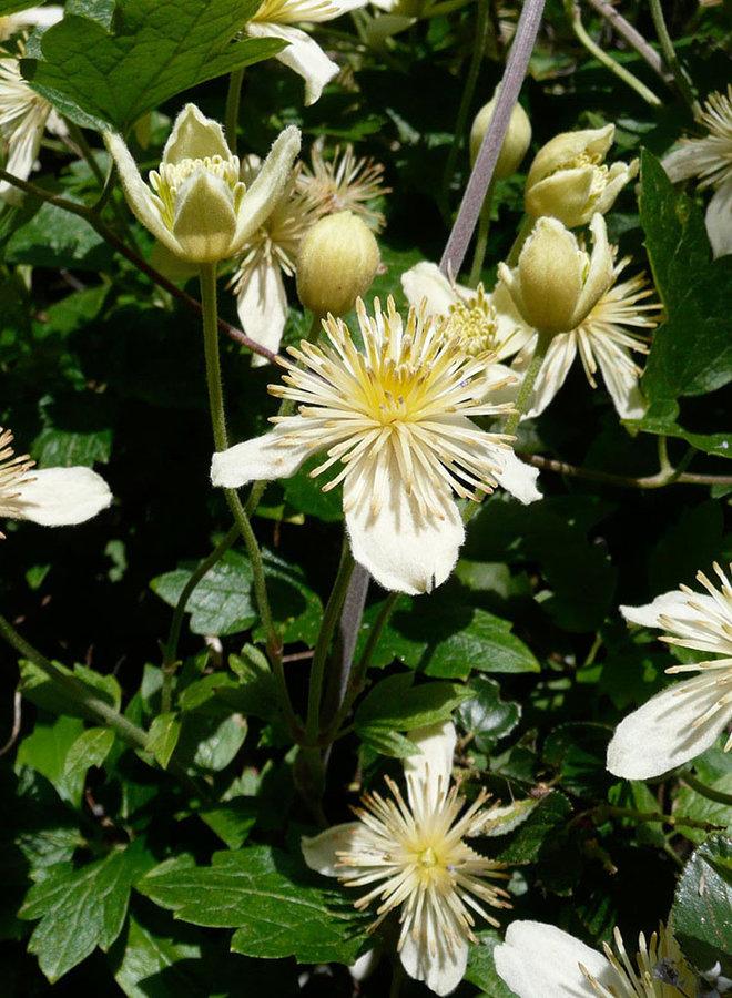 Clematis lasiantha - Chaparral Clematis, Pipestem (Plant)