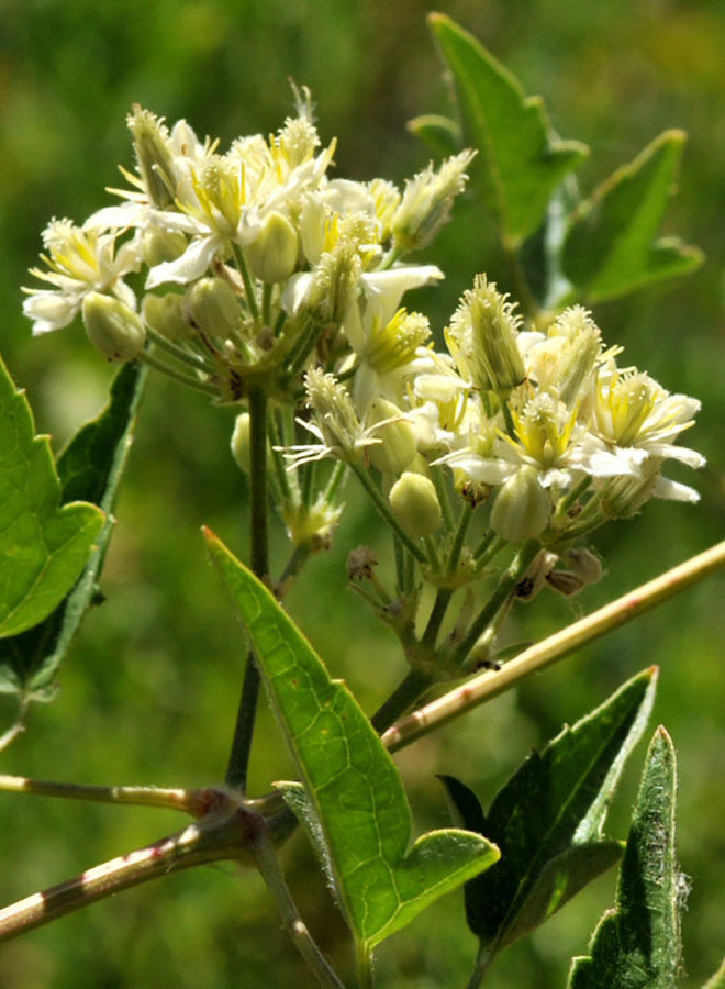 Clematis ligusticifolia - Western Virgin's Bower, Yerba De Chiva (Plant)