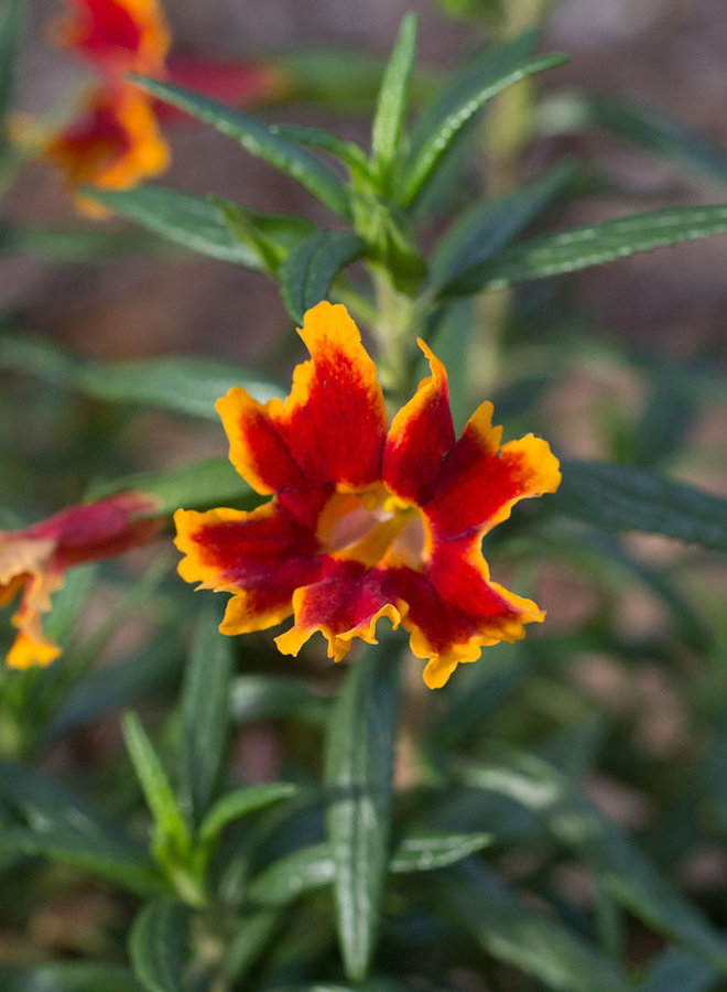Diplacus 'Fiesta Marigold' - Fiesta Marigold Monkeyflower (Plant)