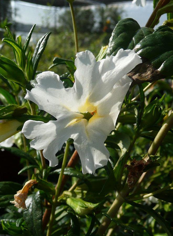 Diplacus 'Jelly Bean White' - Jelly Bean White Monkeyflower (Plant)