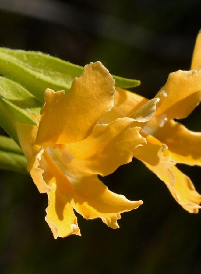 Diplacus longiflorus - Bush Monkeyflower, Sticky Monkeyflower (Plant)
