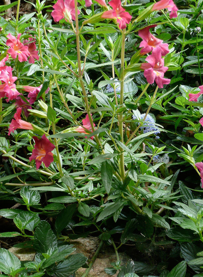 Diplacus 'Trish' - Trish Monkeyflower (Plant)