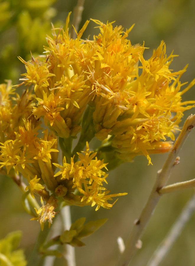 Ericameria nauseosa - Rubber Rabbitbrush (Plant)
