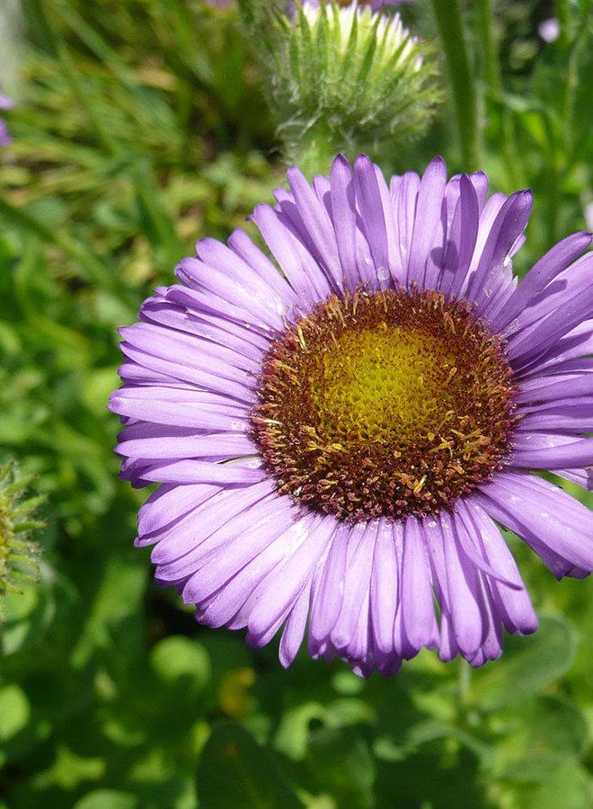 Erigeron 'W.R.' - W.R. Seaside Daisy (Plant)