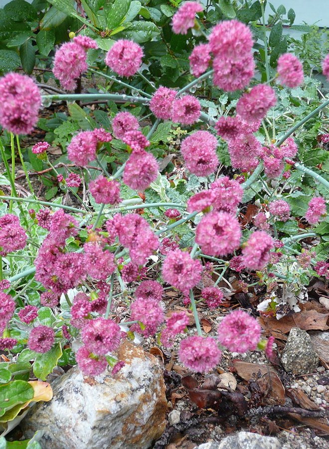 Eriogonum grande var. rubescens - San Miguel Island or Red Buckwheat (Plant)