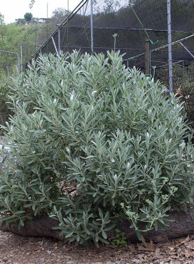 Eriogonum x blissianum - Island Buckwheat Hybrid (Plant)