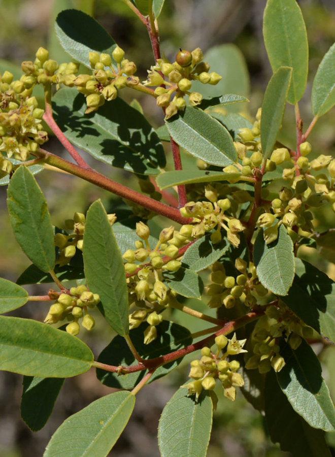 Frangula californica - California Coffeeberry (Plant)