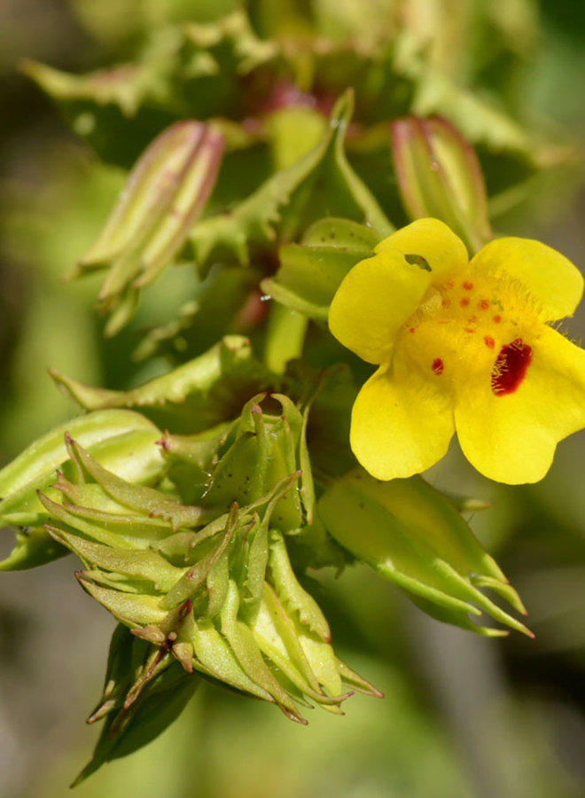 Erythranthe guttata - Seep Monkeyflower, Yellow Monkeyflower (Plant)