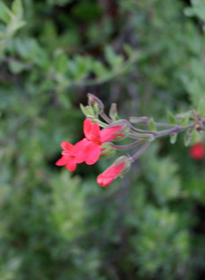 Gambelia speciosa 'Firecracker' - Firecracker Showy Island Snapdragon (Plant)