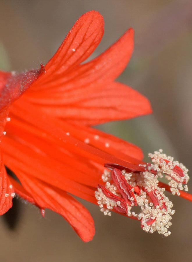 Epilobium canum - California Fuschia, Hummingbird Trumpet (Plant)