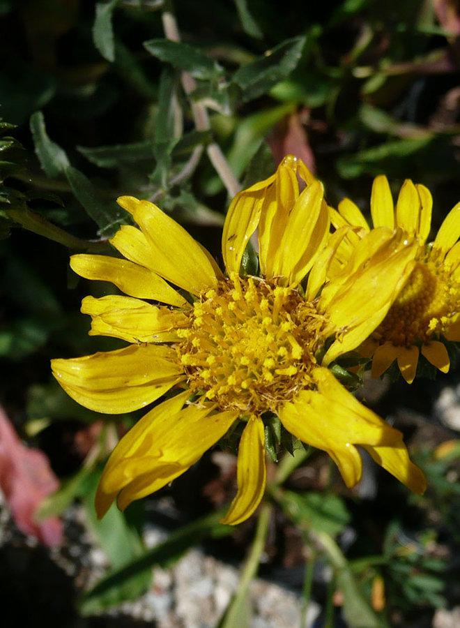 Grindelia camporum - Common Gumplant, Great Valley Gumweed (Plant)
