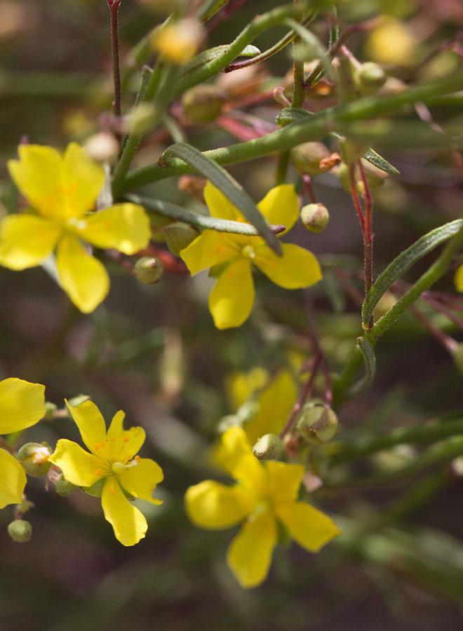 Helianthemum scoparium - Sun Rose (Plant)