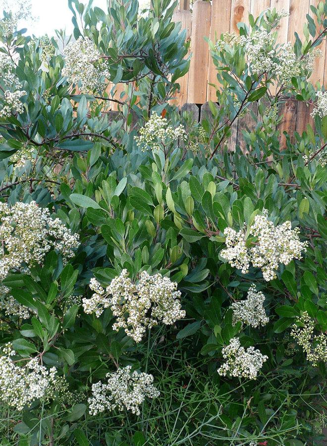 Heteromeles arbutifolia - Toyon, Christmas Berry (Plant)