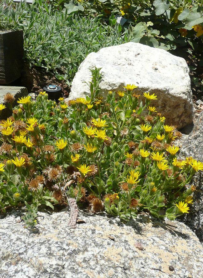 Heterotheca sessiliflora ssp. bolanderi 'San Bruno Mountain' - San Bruno Mountain Sessileflower Goldenaster (Plant)