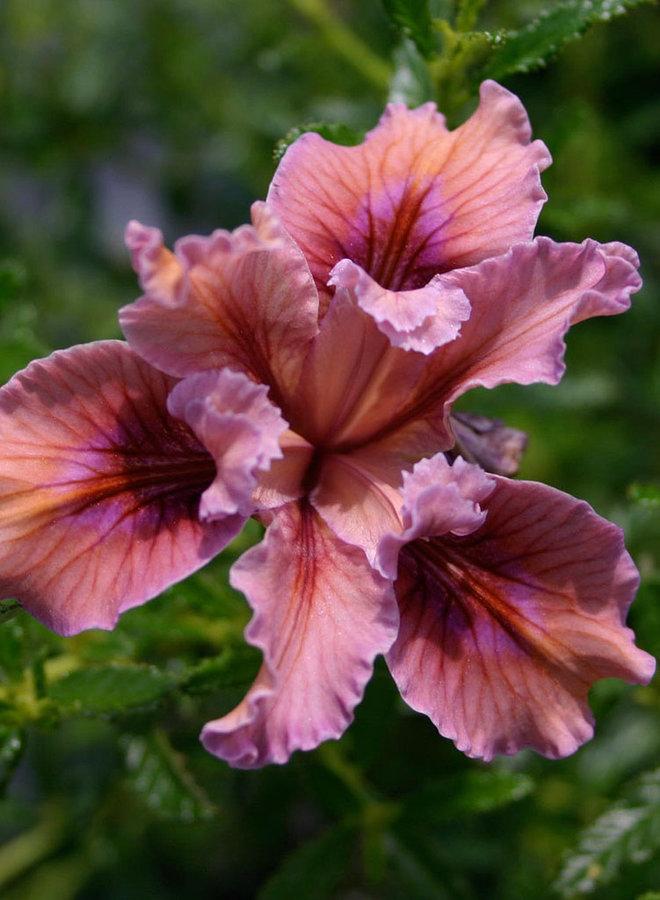 Iris 'Pacific Coast Hybrid' - Pacific Coast Hybrid Iris (Plant)