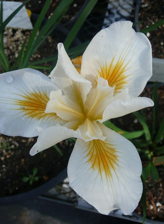 Iris 'Canyon Snow' - Canyon Snow Iris (Plant)