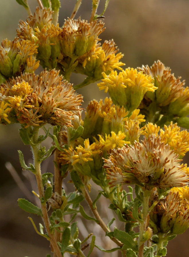 Isocoma menziesii - Menzies' Goldenbush (Plant)