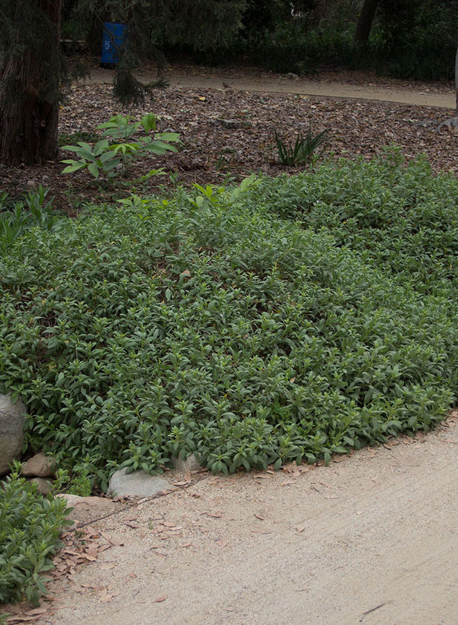 Iva hayesiana - San Diego Marsh Elder or Poverty Weed (Plant)