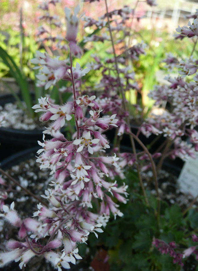 Heuchera hirsutissima 'Santa Rosa' - Santa Rosa Alumroot (Plant)