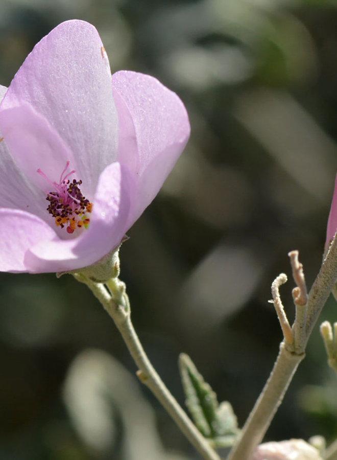Malacothamnus fasciculatus var. fasciculatus - Chaparral Mallow (Plant)