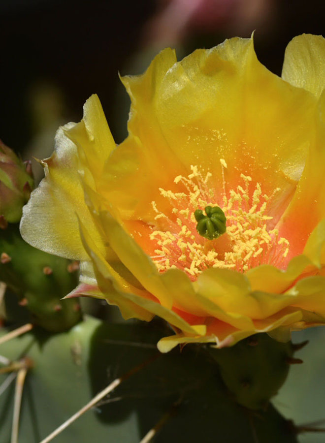 Opuntia littoralis - Western Prickly Pear, Coast Prickly Pear (Plant)