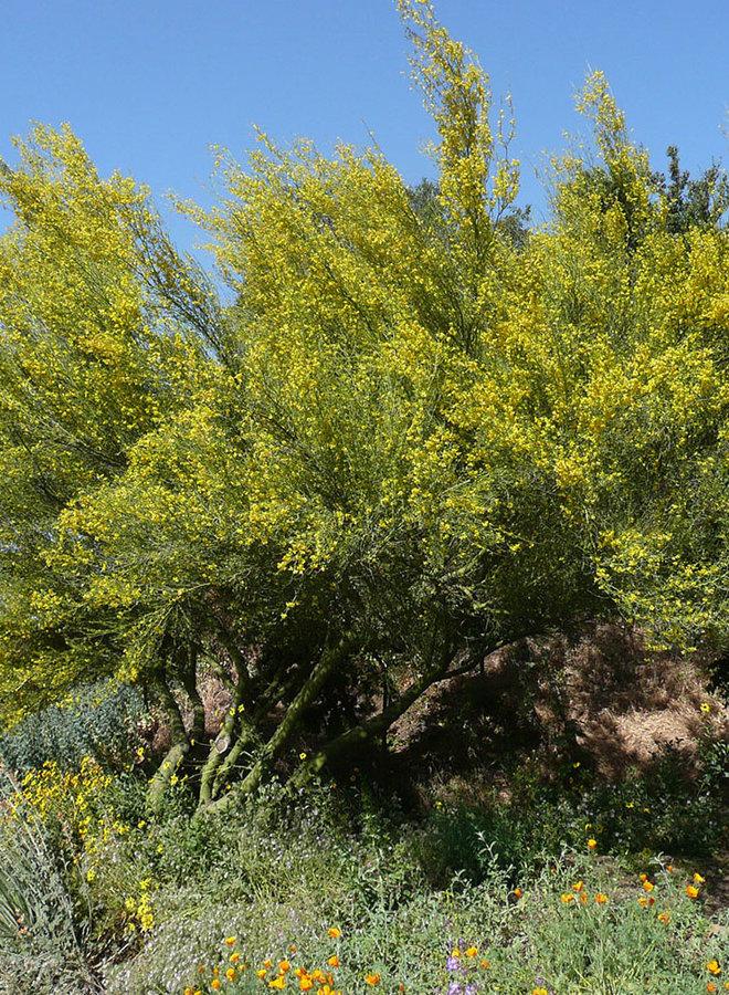 Parkinsonia florida - Blue Palo Verde (Plant)