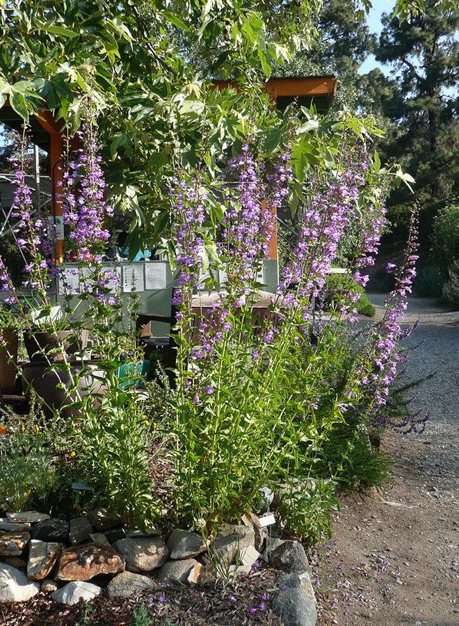 Penstemon spectabilis - Showy Penstemon (Plant)