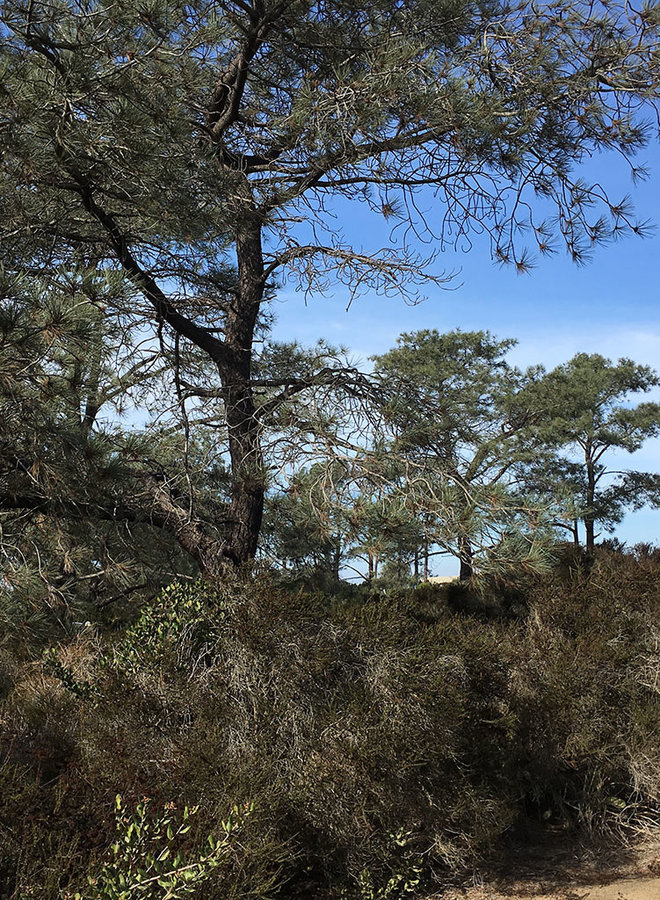 Pinus torreyana ssp. torreyana - Torrey Pine (Plant)