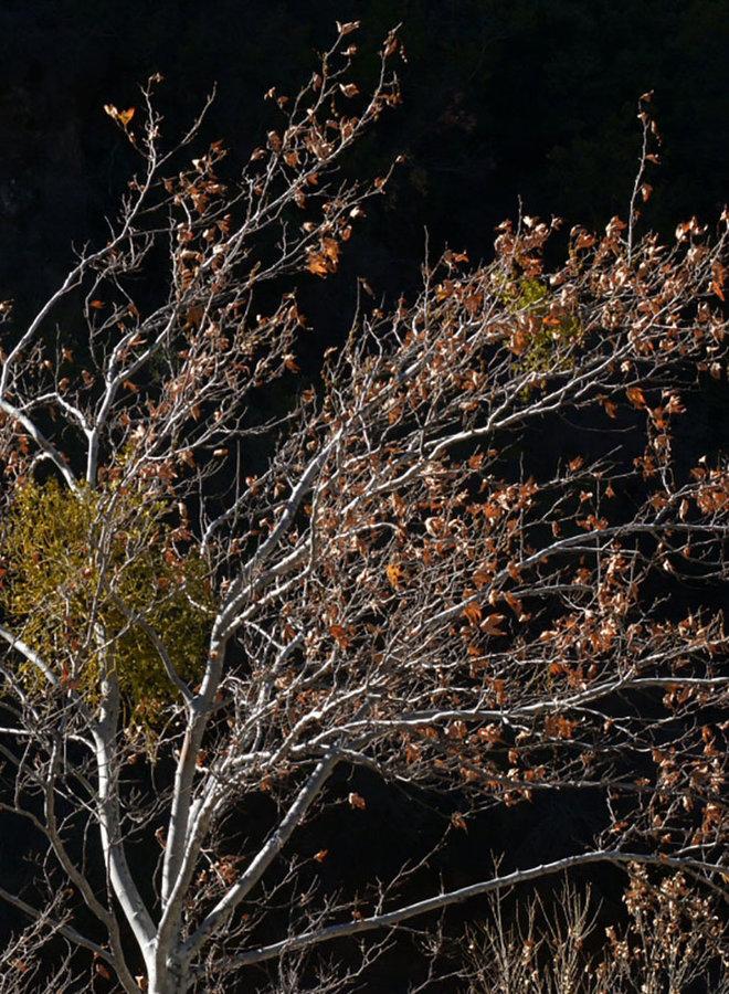 Platanus racemosa - Western Sycamore (Plant)
