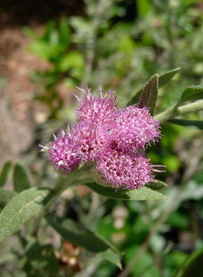 Pluchea sericea - Arrow Weed (Plant)