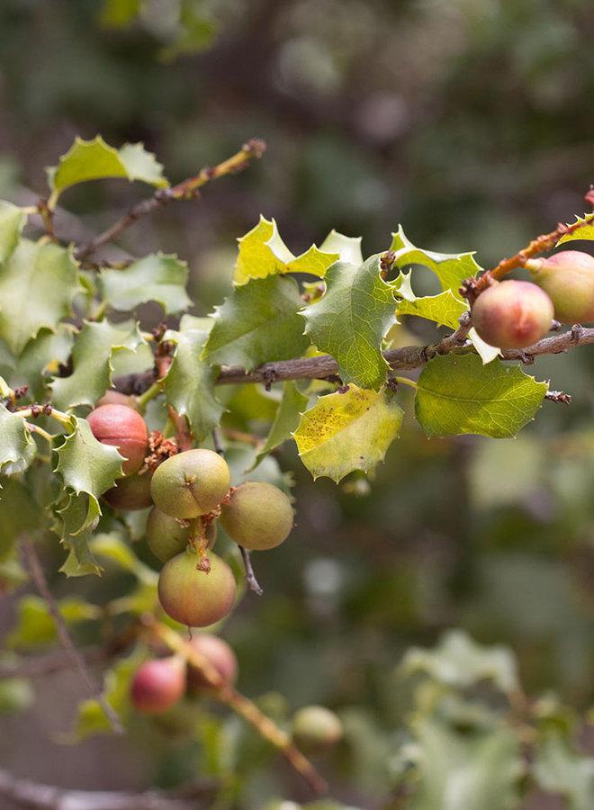 Prunus ilicifolia ssp. ilicifolia - Holly-Leaf Cherry (Plant)