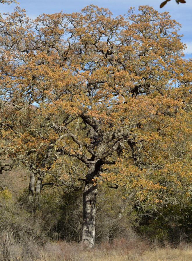 Quercus douglasii - Blue Oak (Plant)