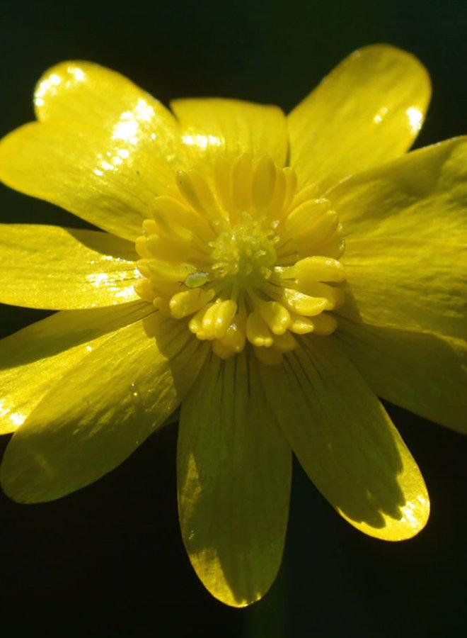 Ranunculus californicus - California Buttercup (Plant)