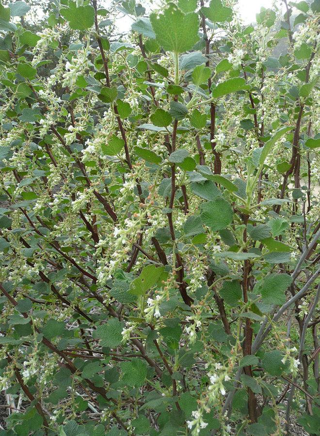 Ribes indecorum - White Flowering Currant (Plant)