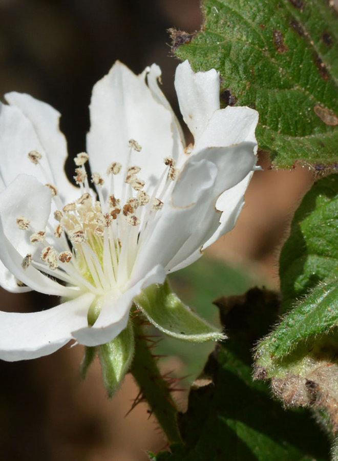 Rubus ursinus - California Blackberry (Plant)